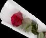 Gaine Rose
